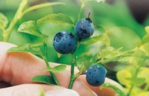 billberry-ha01-1