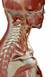 頚椎からの神経