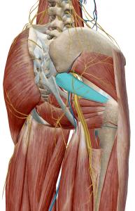 梨状筋と坐骨神経