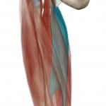膝の痛みには「太ももの内側の筋肉」も関係しています